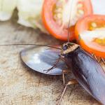 Kakerlakker i køkkenet